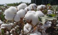 疫情对棉花产业的影响分析