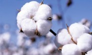ICE期棉周一触及近11年低位报每磅50.7美分