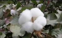 美棉出口周报:中国继续大量进口