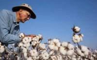 病毒担忧种植美棉面积可能会更低