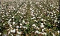 1月中国棉花形势报告