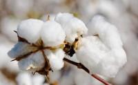 市场压力增大期棉短期或将调整