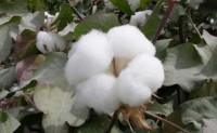ICE棉花周四升至每磅55.39美分