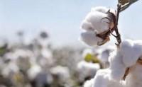 ICE期棉跌至近三周低位,因担心中国棉花需求