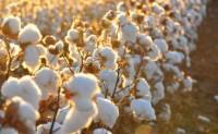 ICE期棉周一上涨0.13美分 报每磅59.63美分