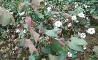 国农业部宣布陆地棉特别进口配额