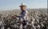 2020年美国棉花实播面积同比减少11%