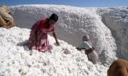 印度棉花种植面积同比增长11.3%