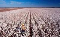 疫情改变用棉传统 高等级澳棉黯然失色