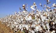 2020/21年度巴西棉销售基差持续小幅下调
