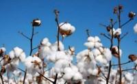 美国旱情蔓延棉价近期看涨