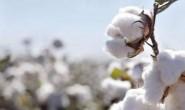 巴西2020/21年度棉花种植面积预计减少8.3%