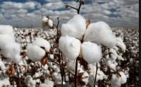 美国飓风损失还在评估新棉单产预期良好