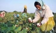 印度棉花已经成为世界上最便宜的棉花