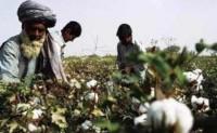 风雨袭击印度古吉拉特邦棉花产量下降