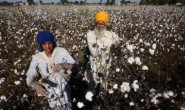 印度国内市场价格下跌将刺激棉花出口