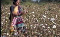 印度国内棉花价格高企可能影响出口
