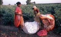 印度棉花价格继续上涨