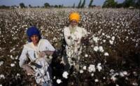 印度棉花公司开始采购棉花