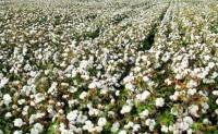 2020年棉全疆大部棉区热量条件好于常年和去年