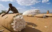 巴基斯坦棉花价格上涨