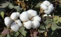 外棉现货市场看涨看多的氛围较浓