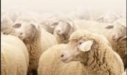 澳大利亚羊毛创新组织 AWI发布《2030年羊毛战略》