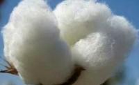 美棉出口签约量增加但装船量下滑
