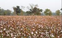 孟加拉国2021年棉花产量或增加