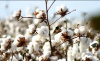 美国棉花周度出口销售报告