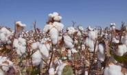 棉花市场上涨没有结束后期还有新高