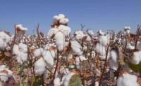 港口棉花库存居高并持续上升