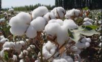 新疆棉产量520万吨占国内消费比重约67%