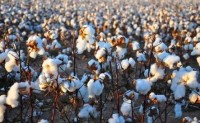 2020/21年度全球棉花产量将下降8.2%