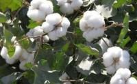 新疆长绒棉种植究竟难在哪里?