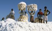 美国新棉生长普遍推迟 印度棉花已播种80%