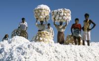 肯尼亚棉花产量创十年来最高