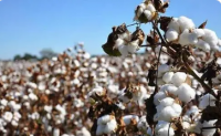 2021/2022年度巴西棉花种植面积为145万公顷