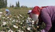 攻关陆地棉和海岛棉现代品种基因组