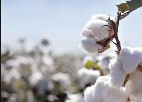 2020年中国能进口多少美棉?