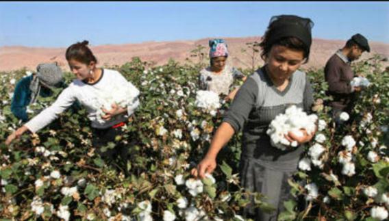 新疆棉加工超过480万吨