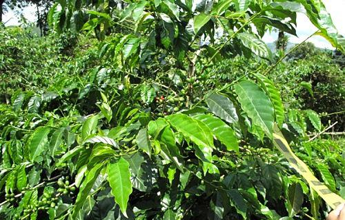 咖啡叶做染料 天然又实用