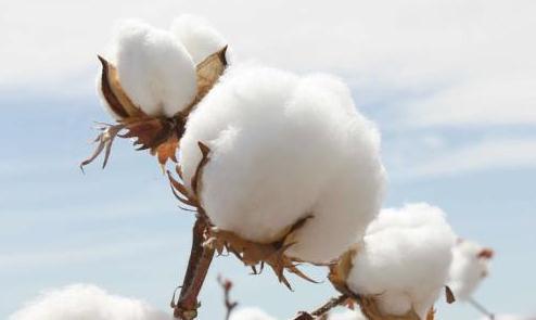 巴西棉产量调增棉花出口难有惊喜