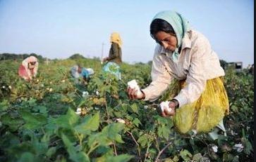 印度棉花出口步伐加快
