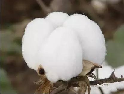 ICE暴跌印度棉合同违约预期大幅上升