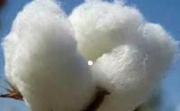 高支产品订单尚可长绒棉报价持续坚挺