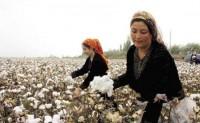 近期新疆棉现货加快走货回款
