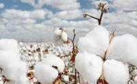美棉主产区减产预期明显增强