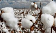 棉价外部风险因子显现