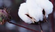 美棉出口数据表现亮眼ICE期棉大涨